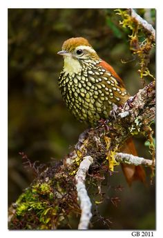 Birds Pearled Treerunner (Margarornis squamiger) perched on a branch in Peru. Kinds Of Birds, All Birds, Love Birds, Angry Birds, Pretty Birds, Beautiful Birds, Animals Beautiful, Exotic Birds, Colorful Birds