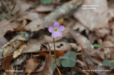 Violet Wood Sorrel (Oxalis violacea) - Low-growing plant of forests & moist prairies, Found in much of Eastern US from NY south.                                  ~ I believe these grow in our grass every Spring!
