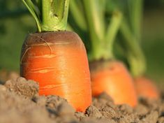 Here's how to harvest an abundance of carrots from your garden this year. Growing carrots & eating them straight from the soil is a joy of gardening.