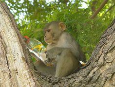 Macaque rhésus (bien lire avant de consommer)