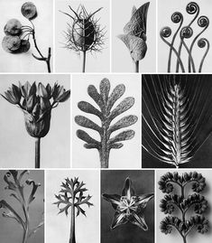 art fotografia Karl Blossfeldt_Biologia ed ar - art Nature Illustration, Botanical Illustration, Botanical Art, Karl Blossfeldt, Art Floral, Fine Art Photography, Nature Photography, Natural Form Art, Inspiration Artistique