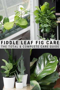 Wondering how to care for a fiddle leaf fig plant? I'm sharing a super detailed care guide to help you help your fiddle leaf figs grow and thrive! Fig Leaf Tree, Fig Leaves, Plant Leaves, Big Leaf Plants, Big Leaf Indoor Plant, Big Indoor Plants, Fig Bush, House Plant Care, House Plants