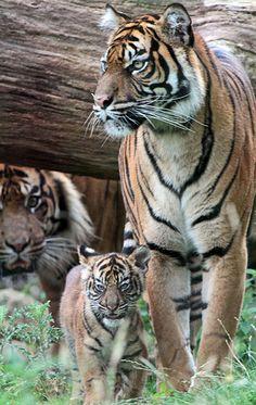 sumatraanse tijger Burgerszoo IMG_0394 | Flickr