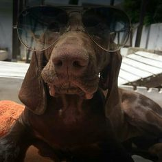 Vivement l'été !!  N'PURDEY d'An Naoned  Femelle Braque allemand née le 26/03/17 (Flower du Domaine du Framire x Hunter)  Mme et Mr Decreus  #braqueallemand #braque #gsp #germanshorthairedpointer #deutschkurzhaar #rayban #sunglasses #travel #camargue #ete #summer #dog #hund #cani #pet #funnydog #dogsunglasses #lunettes #chasse #oxota #hunting #jagd #doglove #dolcevita #farniete #cute #dogoftheday #dogmasternews #purdey