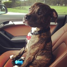 Boxer pitbull mix puppy! #Nala love her!!!