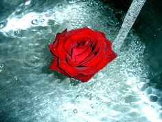 rose in the water Red Rose Pictures, Cute Pictures, Red Roses, Beautiful Flowers, Sweet, Google, Water, Photos, Quantum Physics