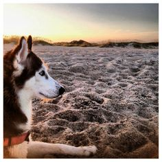 My Husky isn't your typical snow dog, she's a sand dog:)