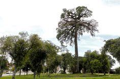 Conheça os causos (alguns macabros) da árvore mais velha de Curitiba