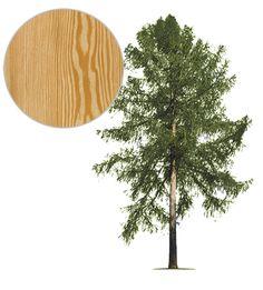 modrzew_drzewo