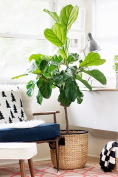 The fiddle leaf fig was named after the fiddle instrument, owing to its broad, fiddle-shaped leaves that it produces. ficus lyrata, was named an 'it' plant Indoor Trees, Indoor Plants, Hanging Plants, Potted Plants, Indoor Garden, Home And Garden, Plantas Indoor, Fiddle Leaf Fig Tree, Decoration Plante