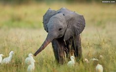 An adorable baby elephant with ducklings