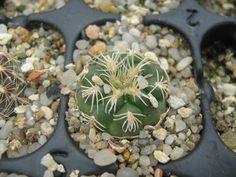 Gymnocalycium calochlorum v. proliferum P109