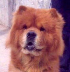 Dog Breed of the Week: Chow Chow