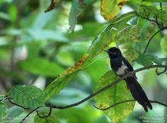 Seychelles Paradise Flycatcher - Terpsiphone corvina