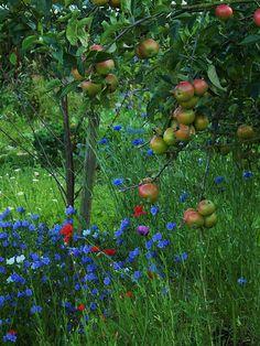 outdoorsanctuaries: 068 Allotment apple tree. (by moira1954) http://www.greenhousestores.co.uk/Elite-Greenhouses/