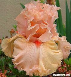 Birthday Girl Tall Bearded Iris ~ late/mid season bloomer  24-36""