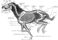 Horse skeleton in gallop: this and the feeling of riding a horse has been influencing by movement material.