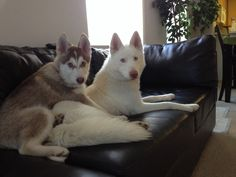 Siberian husky buddies on the couch.