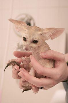 fennec fox to cute my boyfriend wants one... okay maybe I do as well!