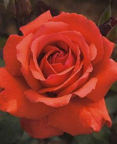 See our large selection of Roses for your landscape or garden, delivered to your home.