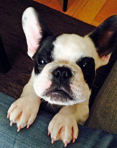 Harvey Dent the French Bulldog