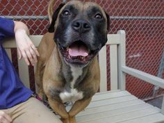 TO BE DESTROYED 8/1/14 Manhattan Center -P  My name is JELLYNOSE. My Animal ID # is A1007851. I am a male tan mastiff mix. The shelter thinks I am about 4 YEARS old.  I came in the shelter as a STRAY on 07/23/2014 from NY 10457, owner surrender reason stated was STRAY.
