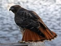 Redtail Hawk, one of my favorite birds!