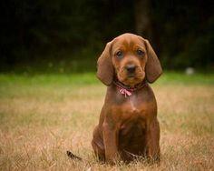 Redbone Coonhound pup #mustsee http://painfreepetshudson.com/
