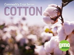 DYK: One 500 lb bale of cotton can produce 215 pairs of jeans, 250 single bed sheets, 1,200 t-shirts, 3,000 diapers, 4,300 pairs of socks, or 680,000 cotton balls? But cotton has uses far beyond fabric - learn all about them (and more!) in the 3rd post of our Commodity Crop series: http://gmoanswers.com/studies/commodity-crops-cotton