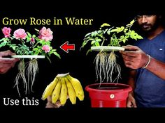 Growing Roses, Growing Plants, Gardening For Beginners, Gardening Tips, Rose Cuttings, Bottle Garden, Planting Roses, Plant Care, Amazing Flowers