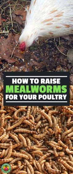 Mealworms can become an expensive treat for your poultry or pets. Learn how to raise mealworms at home and save a lot of money with our complete how-to guide! #chickens #backyardchickens #poultry @gardening