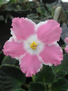 African Violet Plant- Miss Lily (2 inch)