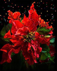 MIDNIGHT POINSETTIA Print, Christmas, Holiday Party, Art, Photography, Décor, Red, Vintage, Flower, 8 x 10 Giclée, artBJC Etsy. $25.00, via Etsy.