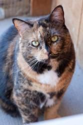 Zoe is an adoptable Domestic Short Hair Cat in Williston, VT. 5 Years Old Spayed Female Short Hair My Feline-ality is: Sidekick!  Like all sidekicks, I'm just plain good company. I like attention, an...