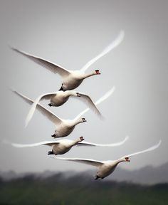 Swans in flight.
