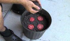 Plantando tomates en casa [Vídeo]  proZesa DIY plantas