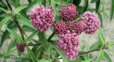 Learn how planting milkweed that is native to your area in your garden can help restore the monarch butterfly population. Bulb Flowers, Purple Flowers, Deer Resistant Annuals, David Suzuki, Butterfly Feeder, Flying Flowers, Unusual Flowers, Fruit Garden, Gardening Supplies