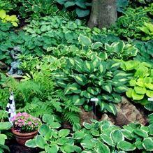 Rare Hosta Garden Perennial Plantain Lily Shade Plant (200 Pcs) – Self Sufficient Soul Hosta Plants, Shade Plants, Bonsai Garden, Garden Pots, Flower Seeds, Flower Pots, Flowers Garden, Plantain Lily, Flowers