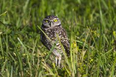 Florida Burrowing Owl, Everglades National Park.