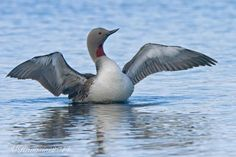 Red-throated Diver (Gavia stellata) Northern Hemisphere mainly in Arctic regions on coastal waters