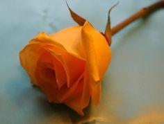 Orange Rose Pictures For Wallpaper   Rose Pictures Online: Orange Rose Photos