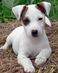 Jack Russel puppy- looks like smudgy when my parents brought him home.