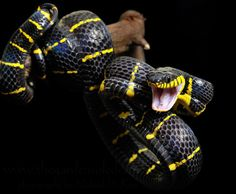 Gold-ringed Cat Snake aka Mangrove Snake