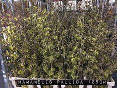 #Hamamelis #Pallida; Available to www.barendsen.nl