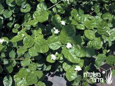 יסמין ערבי (סמבק) - Jasminum sambac גובה: 2-1.5 מ', צמח שיחי עם ענפים נכרכים מושך ציפורים, עלווה מבריקה, פריחה ריחנית פריחה בלבן , באביב, בקיץ ובסתיו פריחה: קצות הענפים, עלווה עגולה ומבריקה, בירוק כהה ירוק-עד, גיזום דילול, הקצרה וחידוש באביב, שמש או צל מלא, קצב צימוח מהיר,  רגיש לקרה לשרב ולמליחות בסוף הקיץ רגיש לתריפס (מזיק) הגורם להכספת העלים