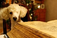 Tobbe the Poodle reading a Bible from the 17th century <3