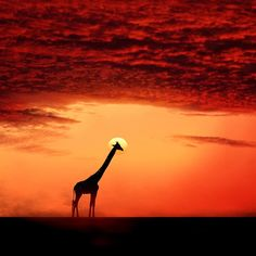 Beautiful sunset with giraffe silhouette Foto Nature, Image Nature, Beautiful Creatures, Animals Beautiful, Cute Animals, Animal Pictures, Cool Pictures, Cool Photos, Beautiful Sunset
