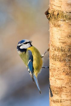 Blue Tit, The Netherlands
