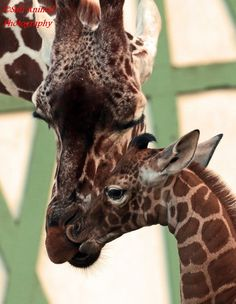 "Natura Artis Magistra, in the Netherlands, welcomed its newest Reticulated Giraffe on November 30th.  The new male calf is the third giraffe born at the Zoo this year. The new mother was also born at Artis in 2010, and this is her second offspring. The herd, or ""tower"" (as a group of giraffes is called), at Artis now consists of nine: five females and four males."