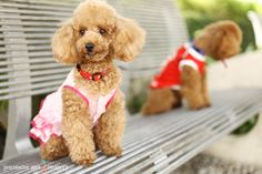 Family Photography with Toy Poodles-Jacky Boy & 小米
